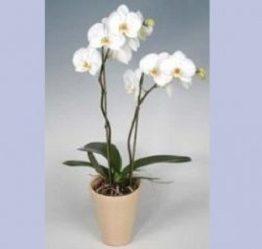 Orquidea Phalenosis Blanca