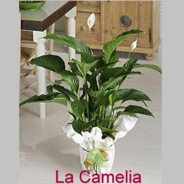 Planta Spatifilium Grande