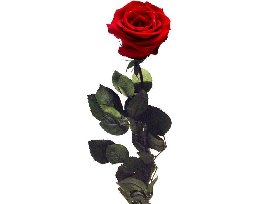 Rosa Roja Preservada Eterna Floristeria La Camelia